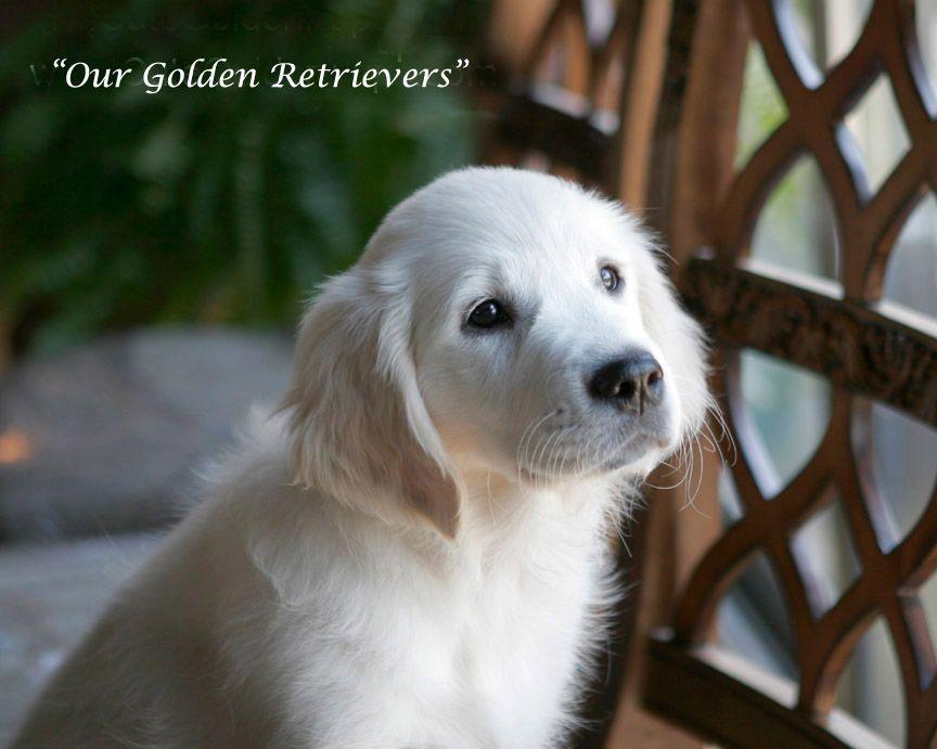 White Golden Retriever Puppies,CA,TX,FL,AZ Goldens