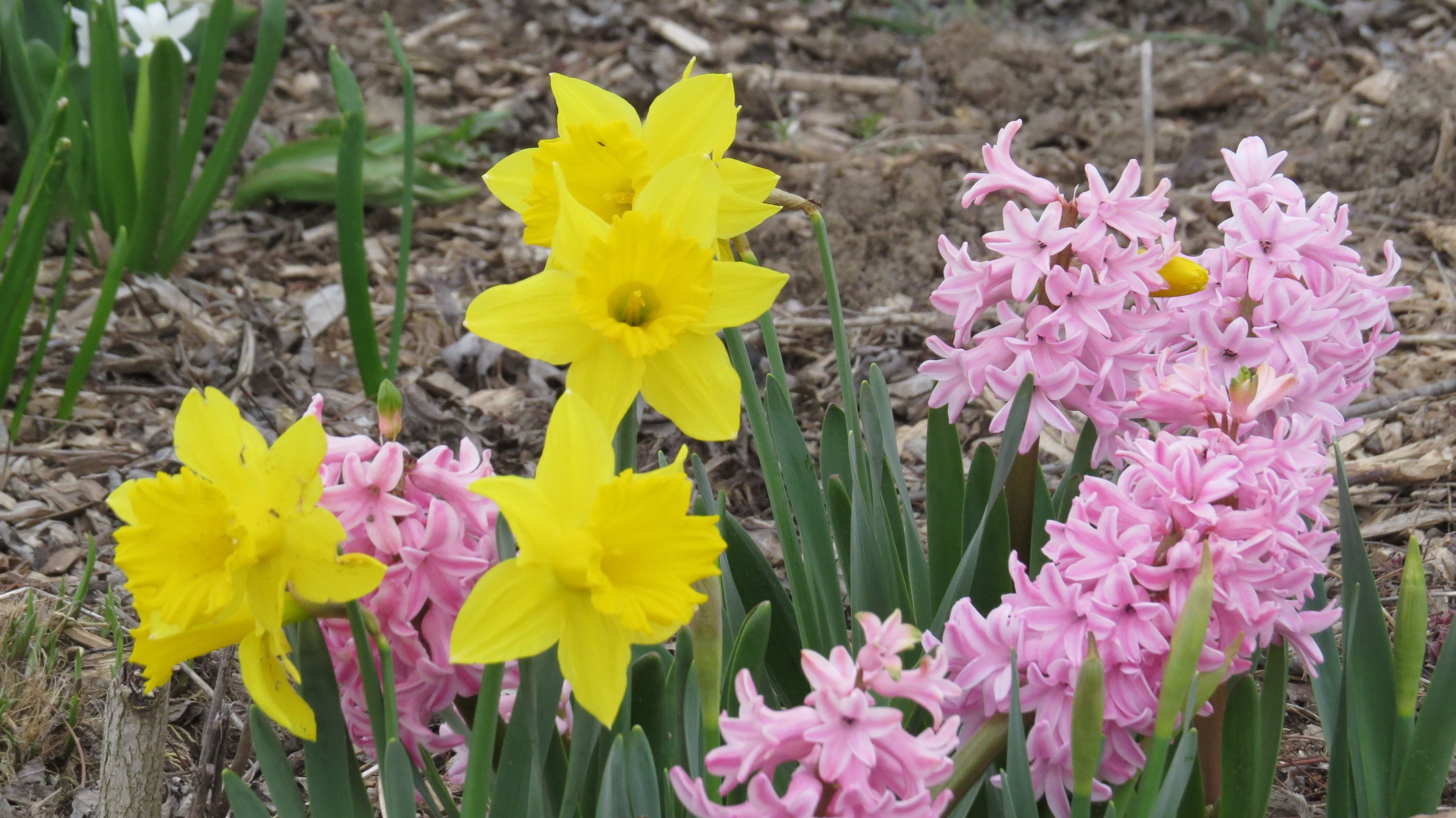 Yellow daffs and pink hyacinths  Snapped by: Lou-Lou Lange