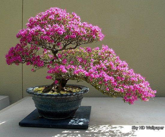 25 bezaubernde bonsai azalea ideen auf pinterest. Black Bedroom Furniture Sets. Home Design Ideas