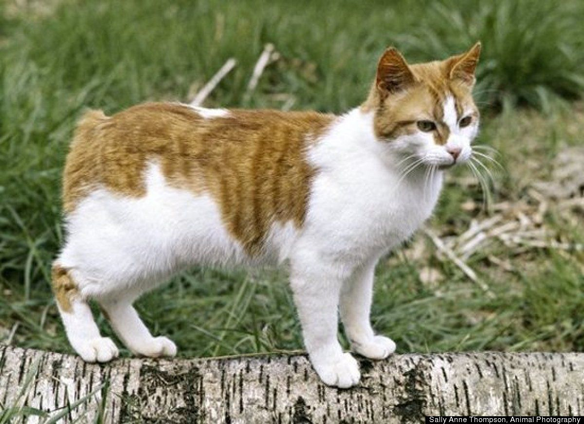 The Top 10 Cat Breeds In The U.S. (มีรูปภาพ) แมว