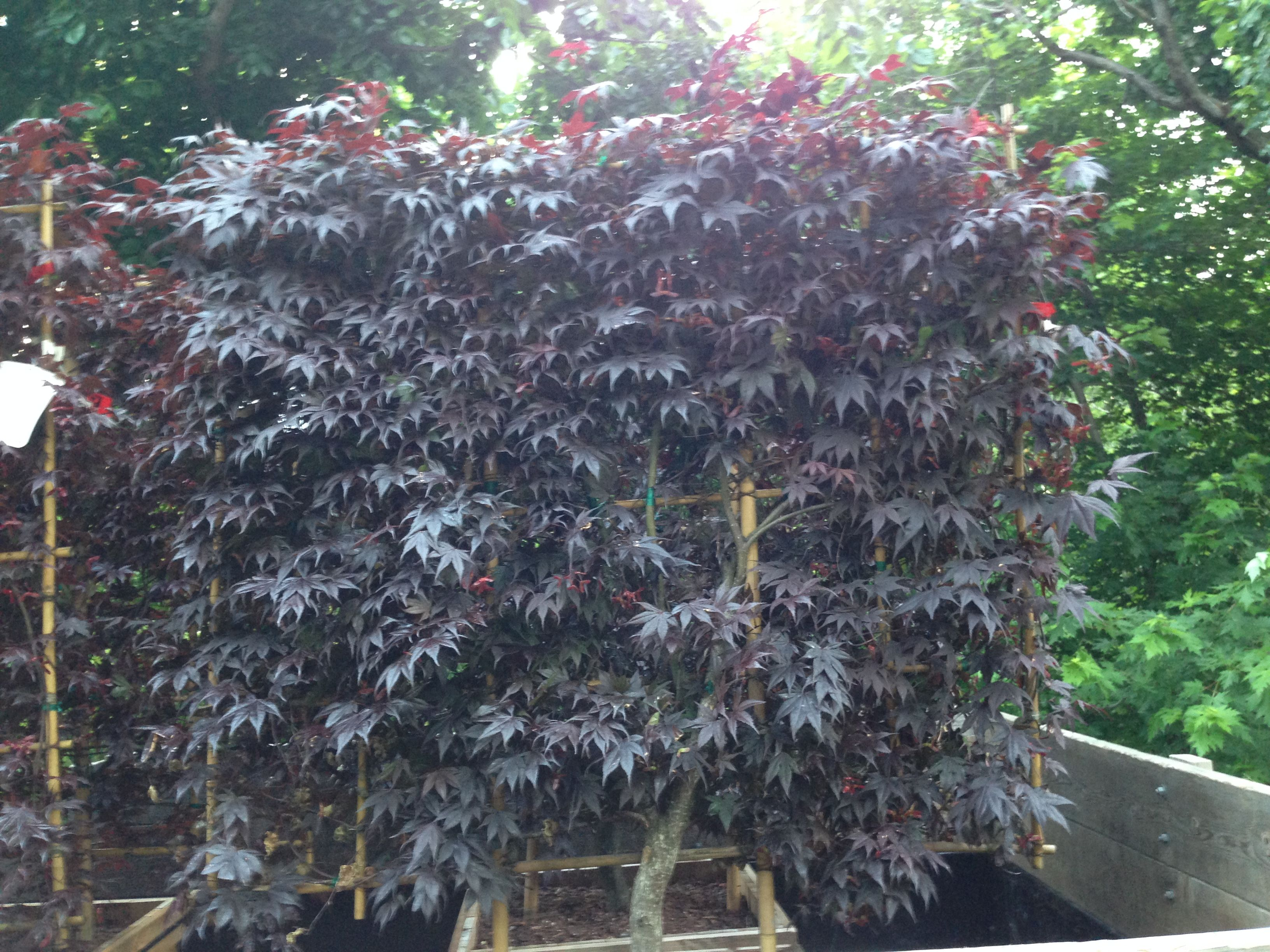 Japanese Maple Screen Espalier With Images Garden Pots