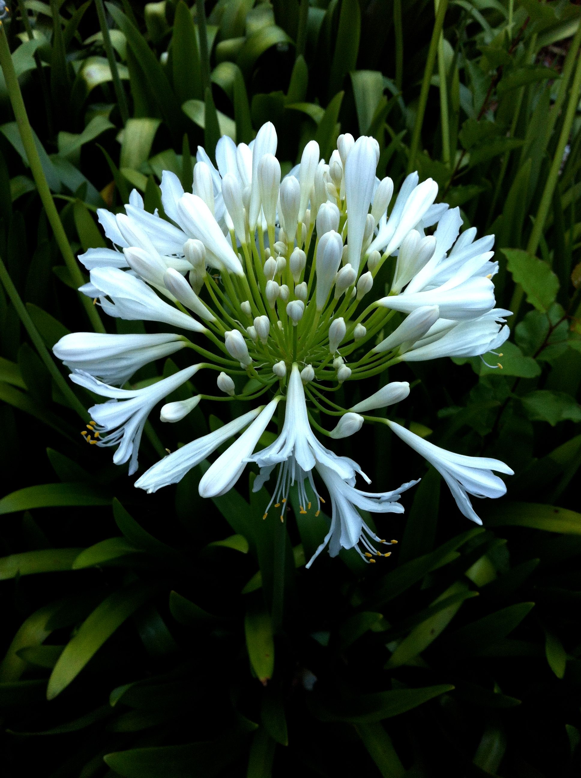 love agapanthus...I can't seem to grow this favorite plant that looks spectacular in pots here in my DUrham, NC garden. Anyone have some advice?