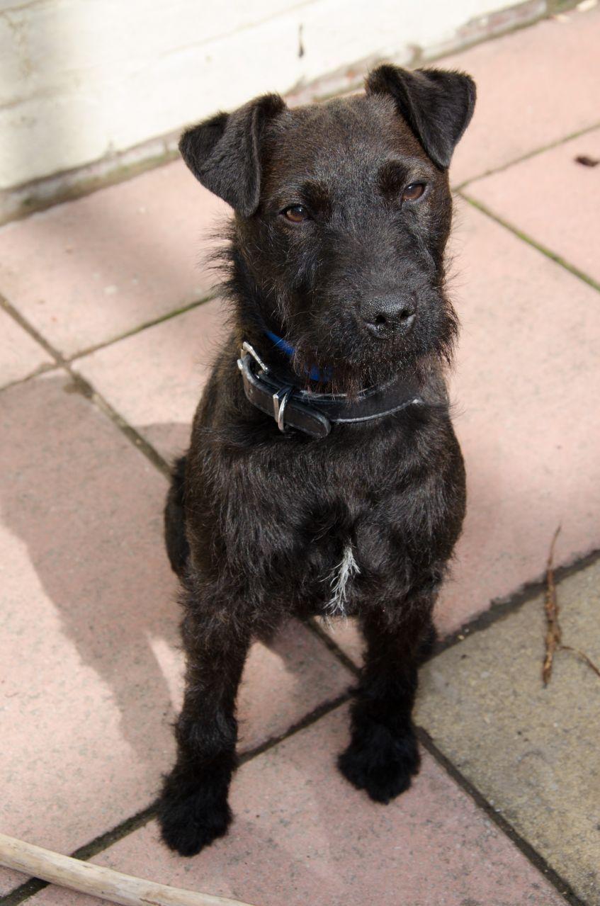 Louis Patterdale Terrier Cross Pawshake Lingfield Patterdale