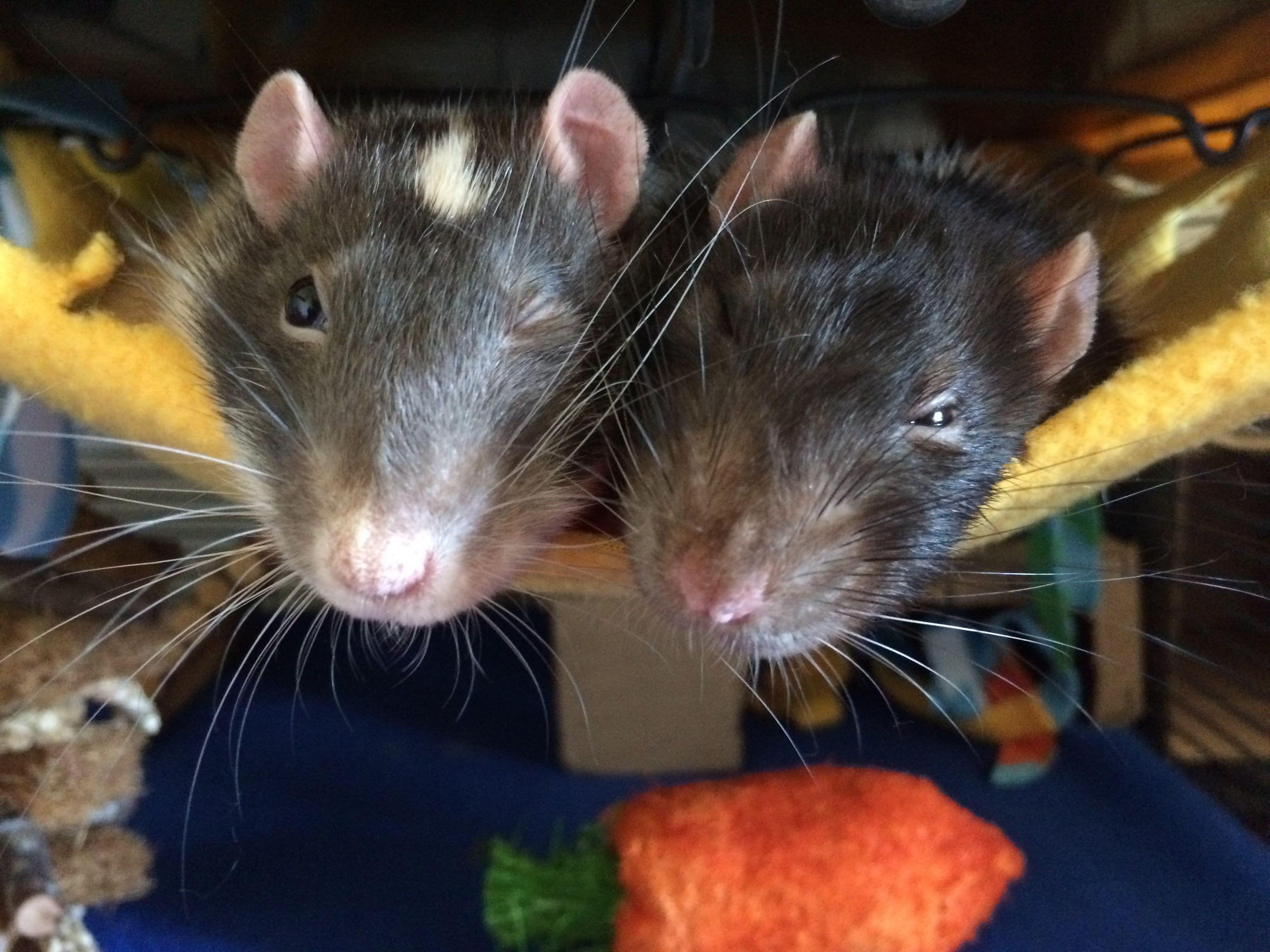 Here S Lookin At You Hooman Aww Cute Rat Cuterats Ratsofpinterest Cuddle Fluffy Animals Pets Bestfriend Ittssofluffy Cute Rats Pet Rats Small Pets