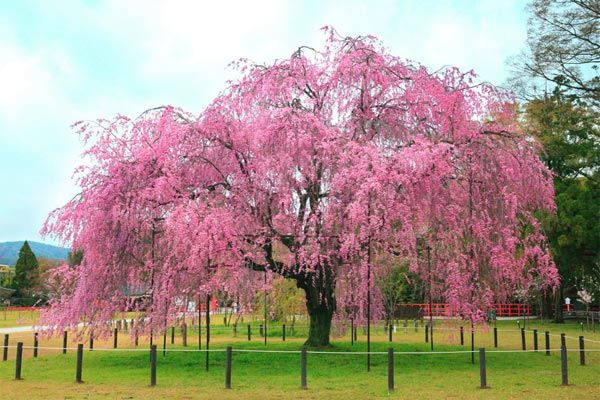 Cherry Blossom Tree Google Search Japanese Cherry Tree Japanese Garden Flowering Trees