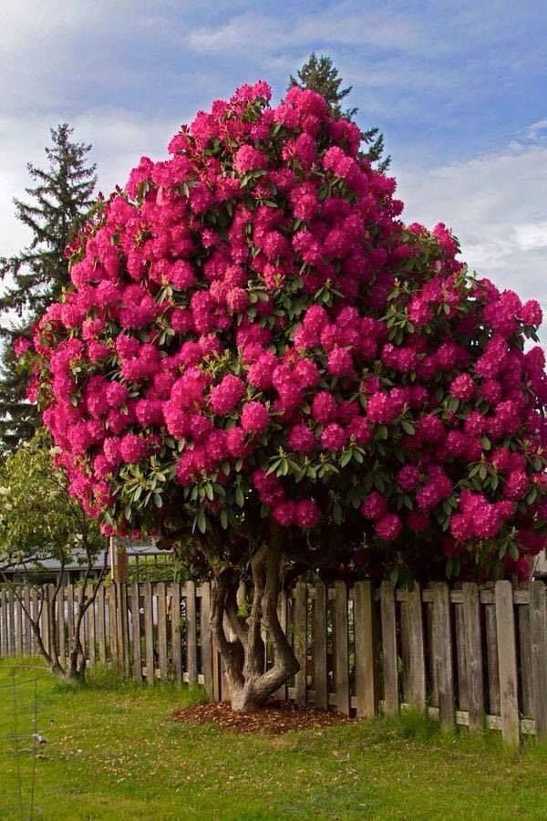 Rhododendron alpsk r e plantas ornato arboles for Arboles ornamentales jardin
