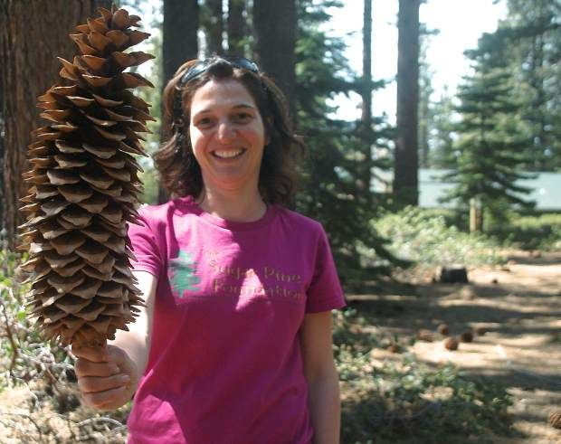 94 Maria Mircheva Holds Up A Sugar Pine S Pinus Lambertiana Cone The Trees Produce The Largest Pine Cones In T Sugar Pine Cones Pine Cones Giant Pine Cones