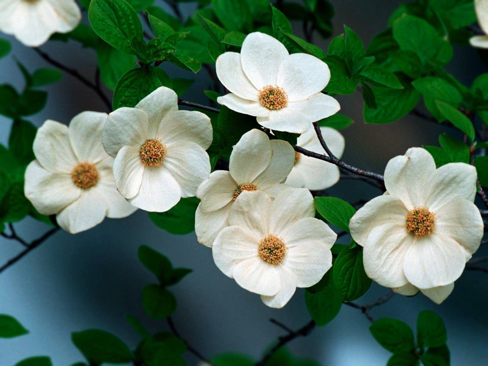 Pacific Dogwood flower emblem of British Columbia Canada | Dogwood ...