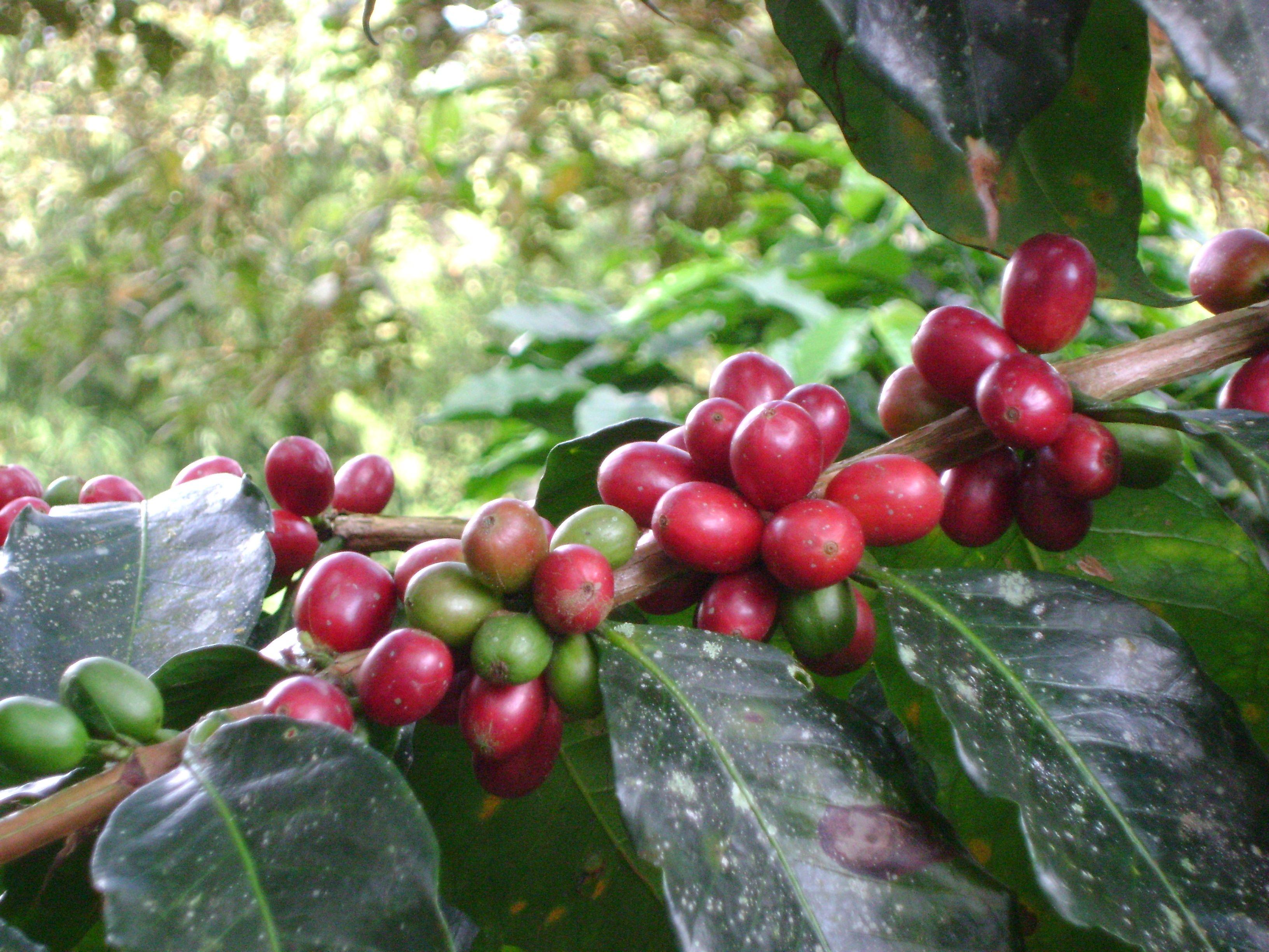 Coffee Tree and fruit Fruit, Coffee tree, Tree
