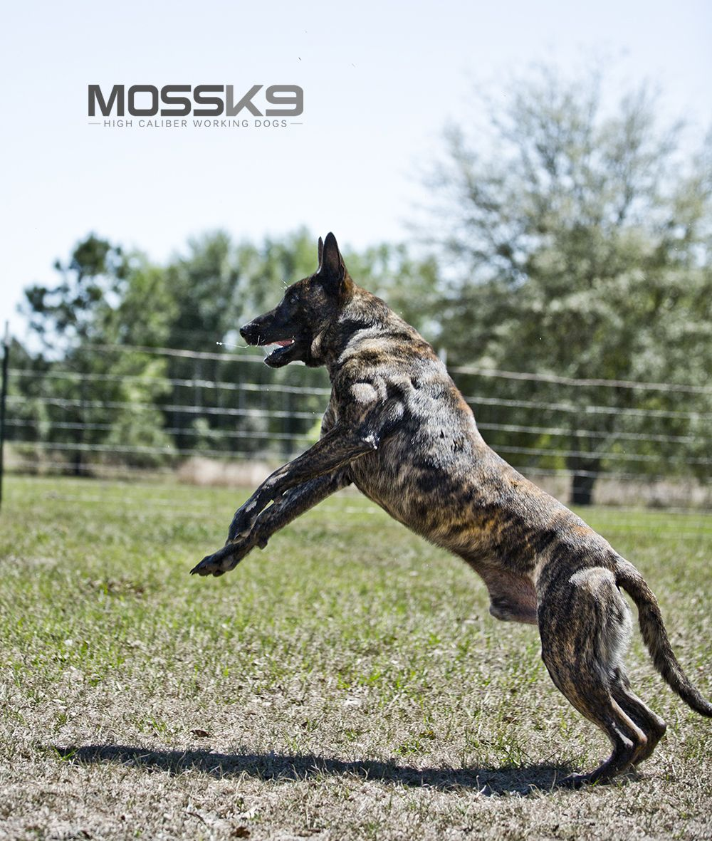 Knpv Dutch Shepherd Belgian Malinois Police Dog Moss K9 Dutch Shepherd Dog Belgian Malinois Dog Guard Dogs For Sale