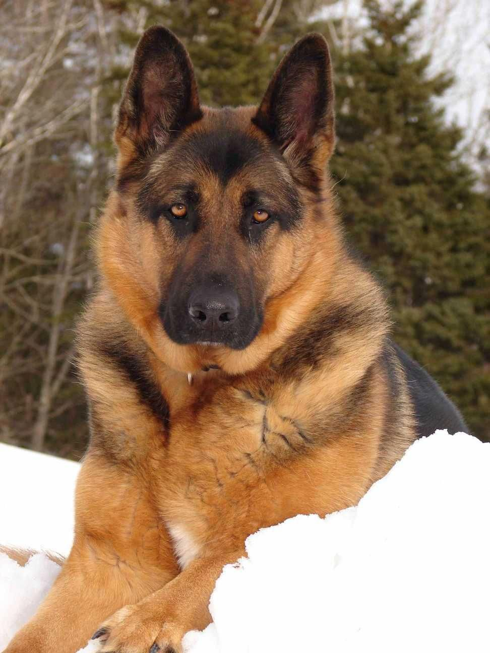 German Shepherd Strong And Loyal With Images German Shepherd Puppies German Shepherd Dogs Dog Breeds