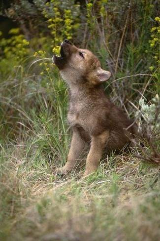 Photographic Print: Grey Wolf Pup Howling (Canis L