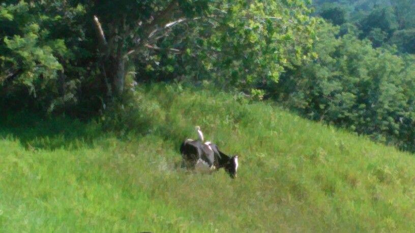La gaviota sobre el becerro, en Los Azules, Loma de Salcedo, Provincia Hermanas Mirabal. Taken 2015.