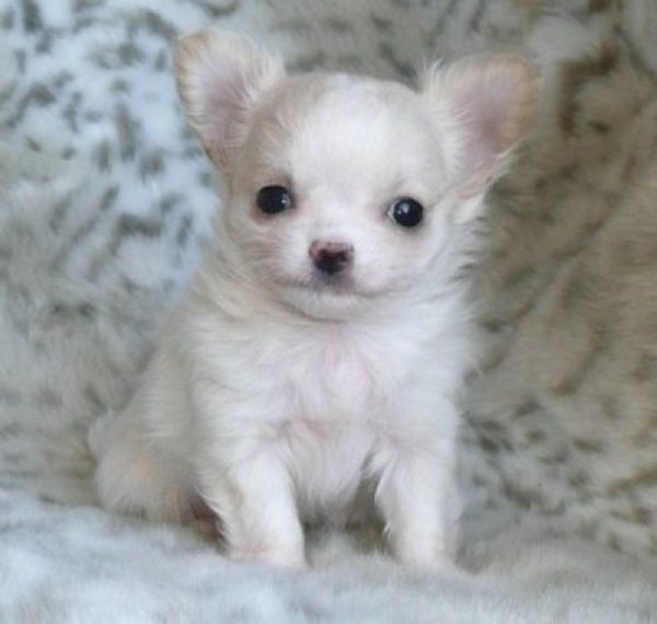 All White Chihuahua Puppies For Sale Zoe Fans Blog Chihuahua
