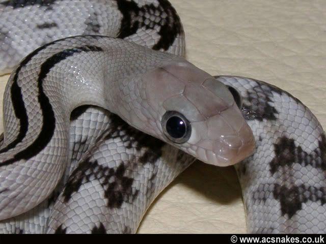 The Best Pet Snake For A Beginner 12 Snake Wallpaper Colorful