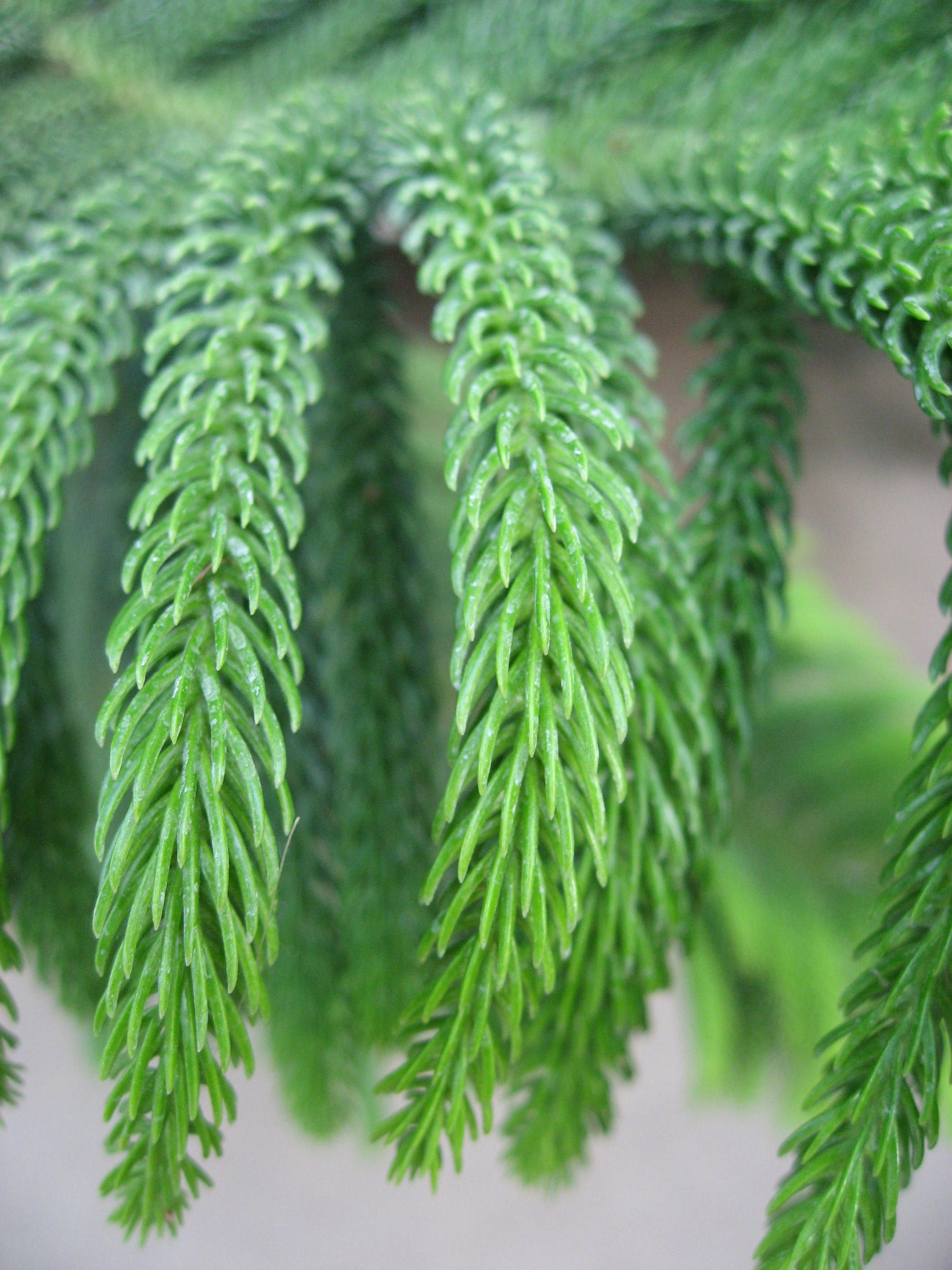 And information network araucaria heterophylla norfolk pine - Norfolk Island Pine Needles