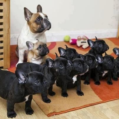 Lots of French Bulldogs!!!
