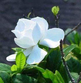 C mo cuidar las gardenias flores jardiner a - Como cuidar las hortensias en maceta ...