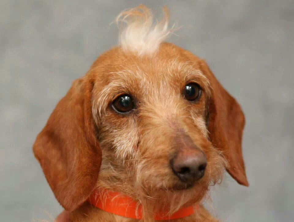 Gingersnap Wire Haired Dachshund Is A Puppy Mill Survivor