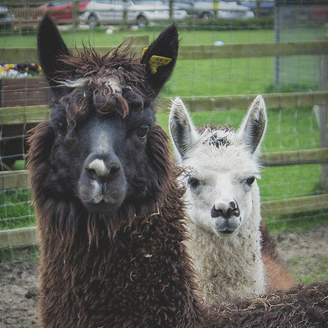 Hello! Happy Monday ;) #goodmorning  #monday #lama #vscocam #vsco #vsconature