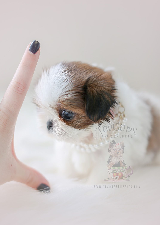 Teenie Tiny Shih Tzu Puppy By Teacup Puppies Boutique Shihtzu Tinypuppy Tinydog Tinytype Tinytypeshihtzu Puppy Shih Tzu Puppy Teacup Puppies Shih Tzu