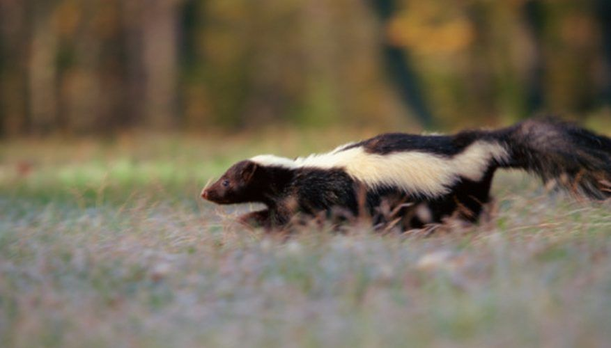 How Long Does it Take for Skunk Smell to Go Away?   Skunk ...