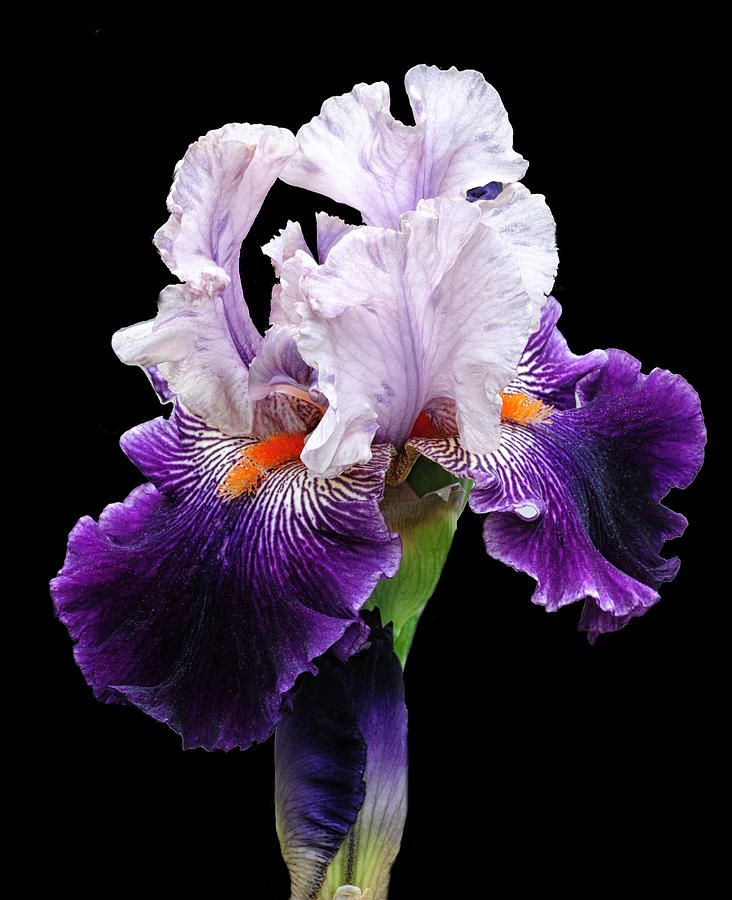 This%20beautiful%20violet%20iris%20that%20is%20a%20dominant%20flower%20in%20any%20garden.%20Iris%20Flowers,%20Exotic%20Flowers,%20Amazing%20Flowers,%20Spring%20Flowers,%20Planting%20Flowers,%20Beautiful%20Flowers,%20Iris%20Painting,%20Shades%20Of%20Violet,%20Iris%20Garden