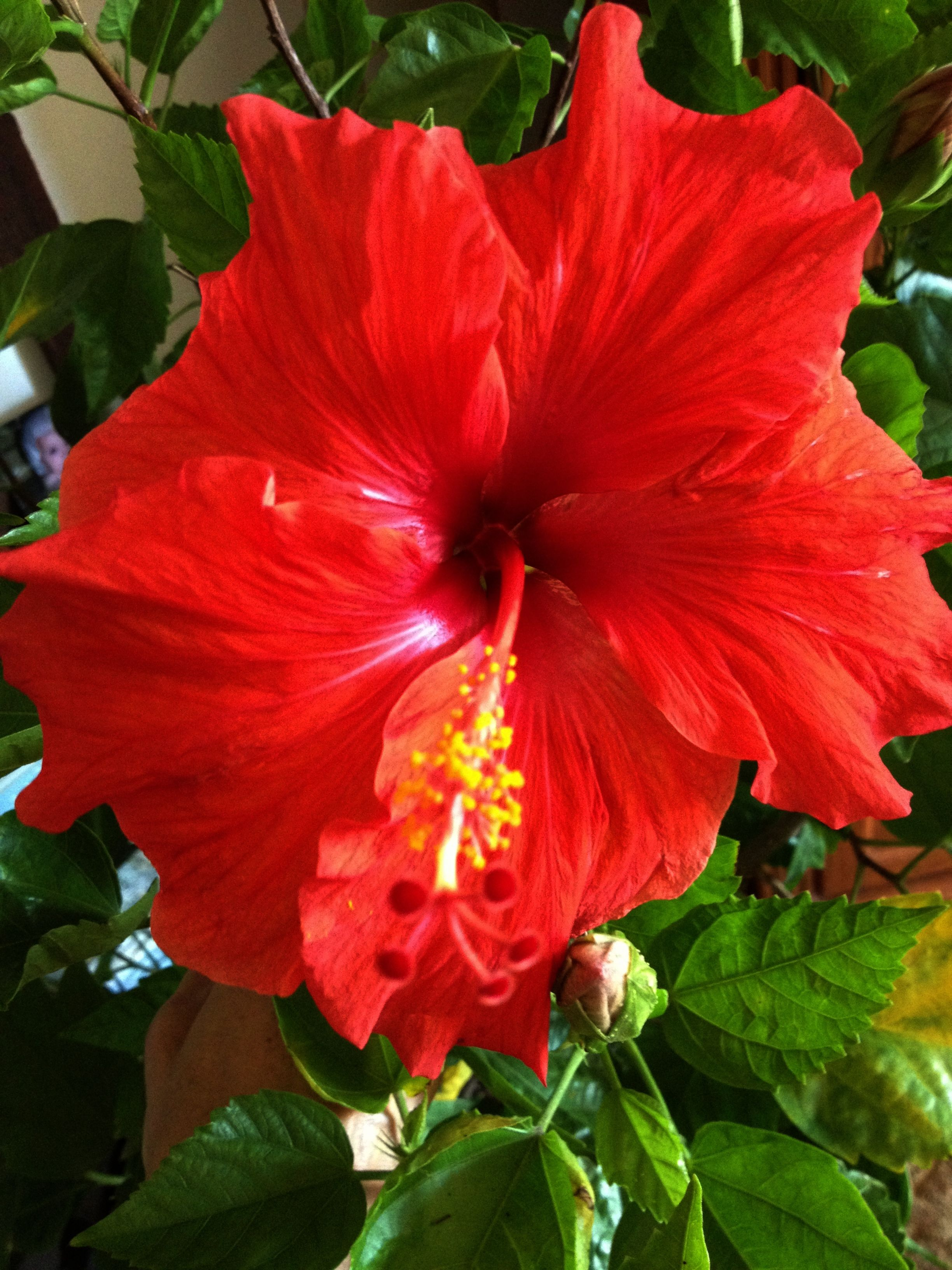 Hibiscus I Have 5 Huge Plants During The Summer Before Fall I