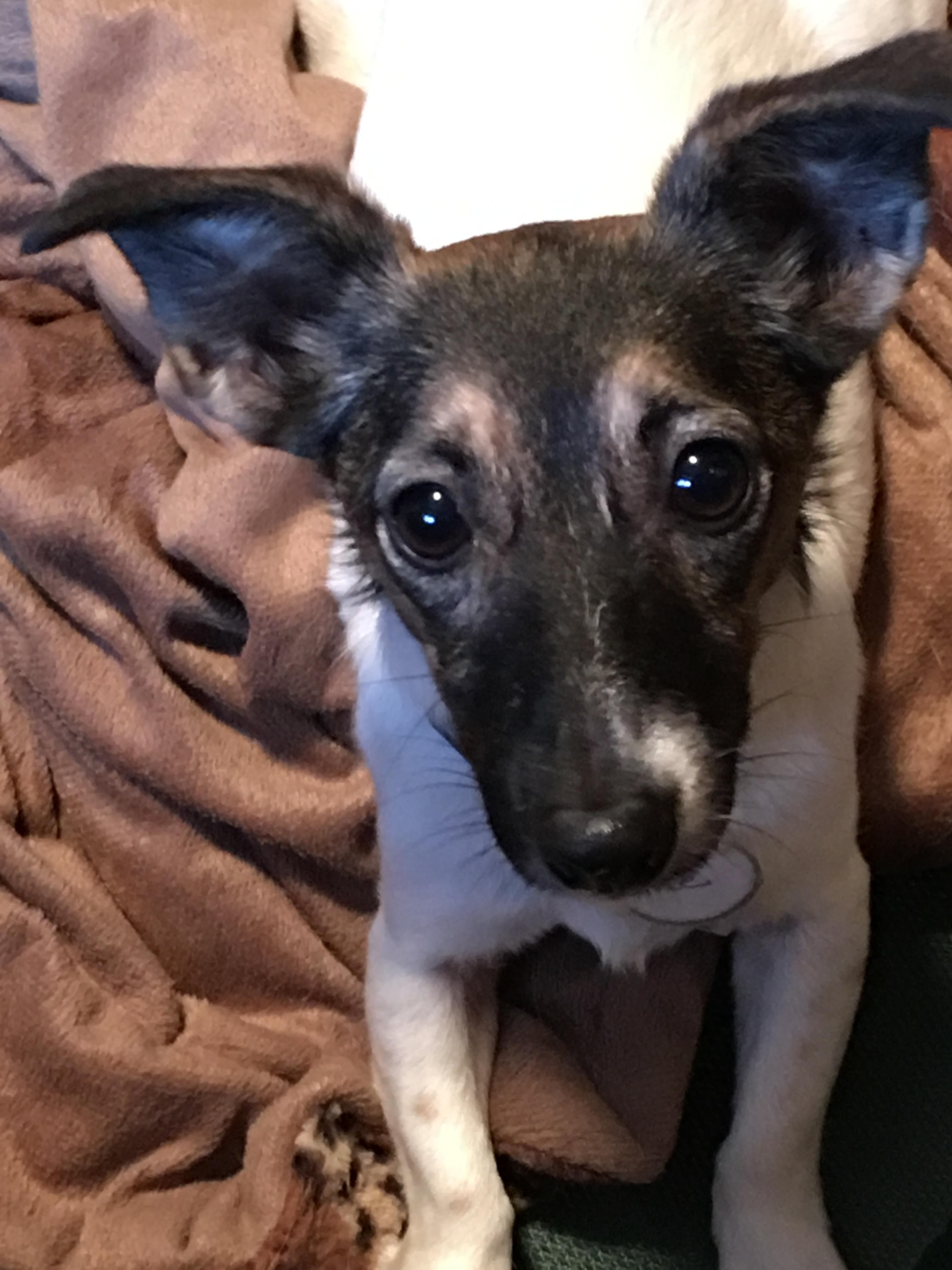 Adopt Squeakers on Jack russell, Jack russell terrier