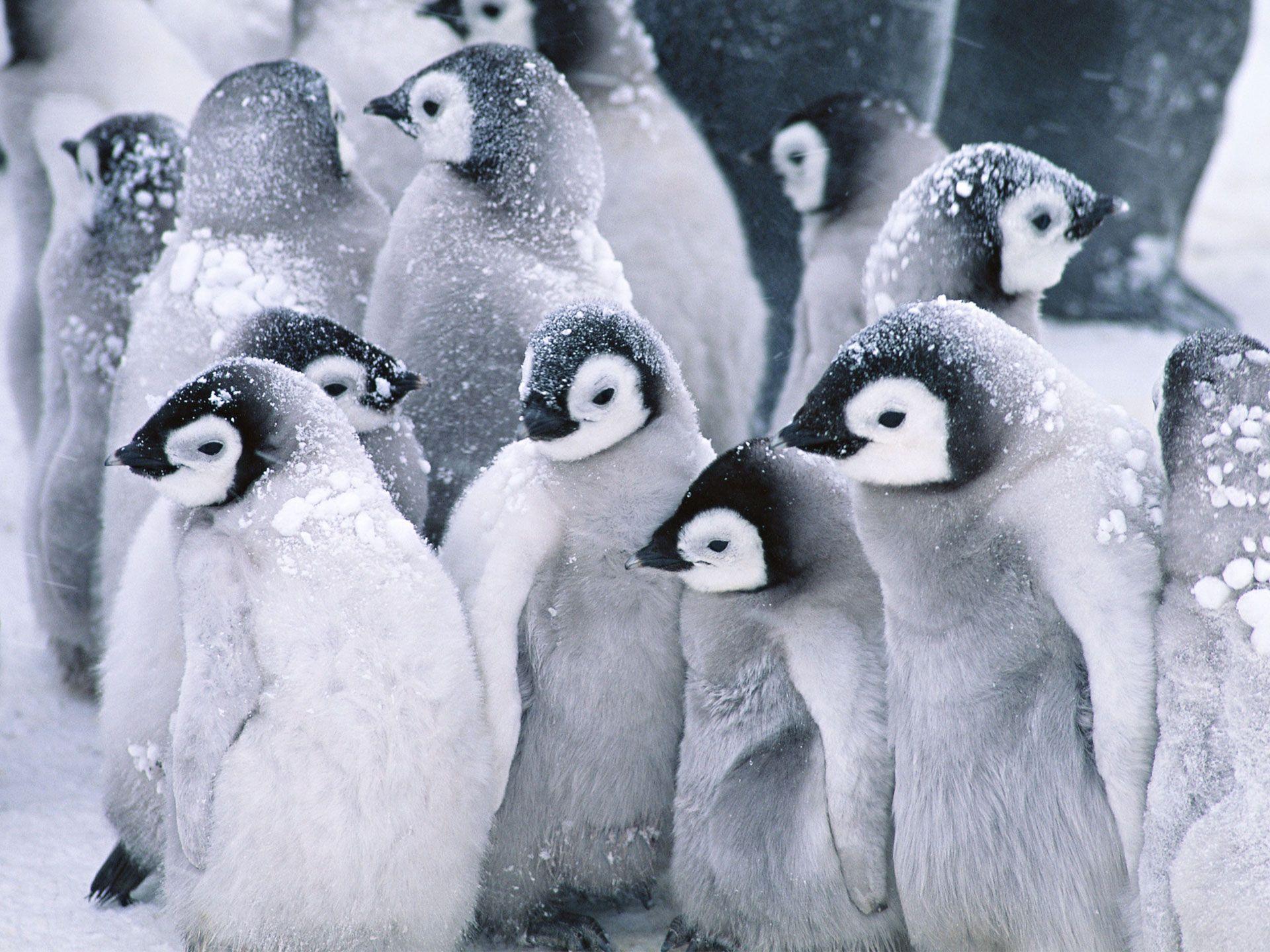 Cute Arctic Penguins Wallpaper - http://www.56pic.com/animals ...
