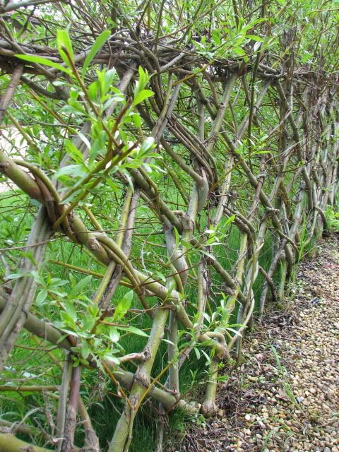 live willow hedge