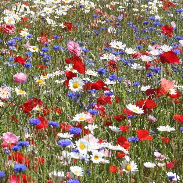 Jach re fleurie de bonne qualit pour embellir de grandes - Fleur de jachere ...