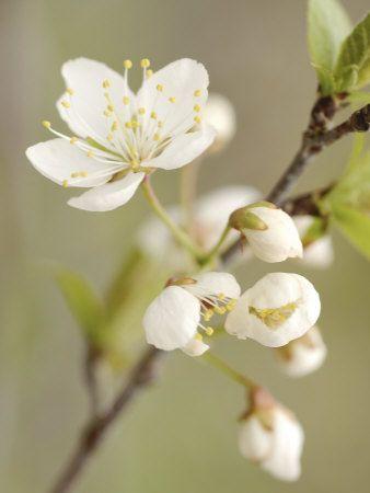 White Apple Blossom Flowers Blooming On Branch Photographic Print Art Com Apple Blossom Flower Apple Tree Blossoms Apple Blossom