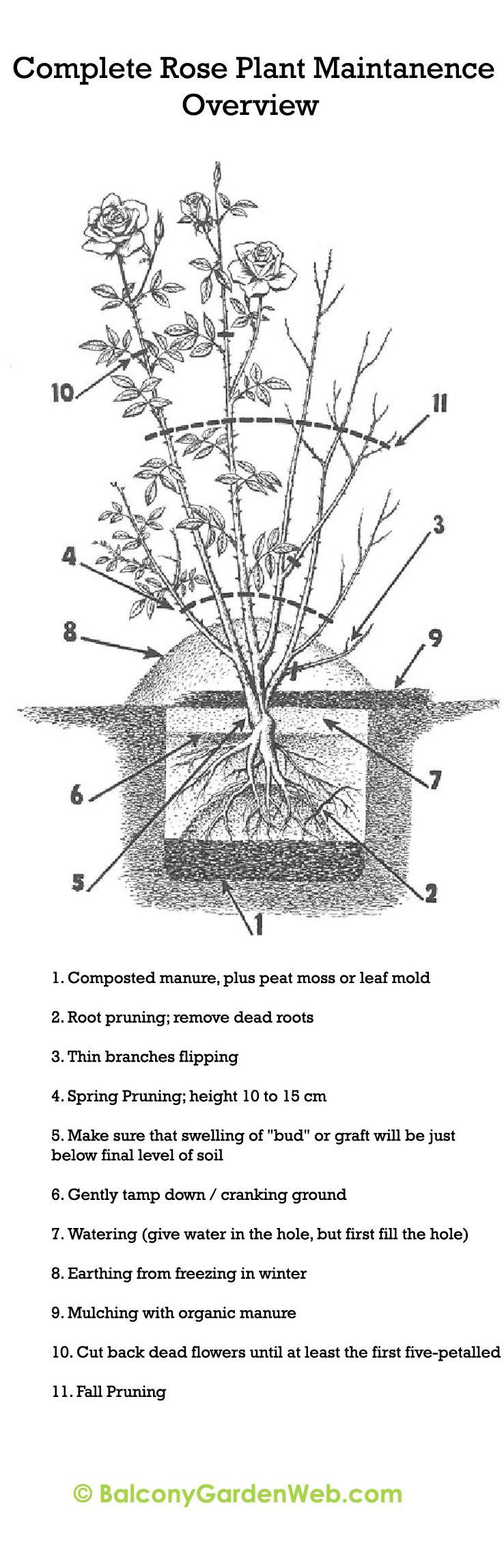 diagram of a bush wiring diagram meta diagram of a rose bush diagram of a bush [ 738 x 2292 Pixel ]