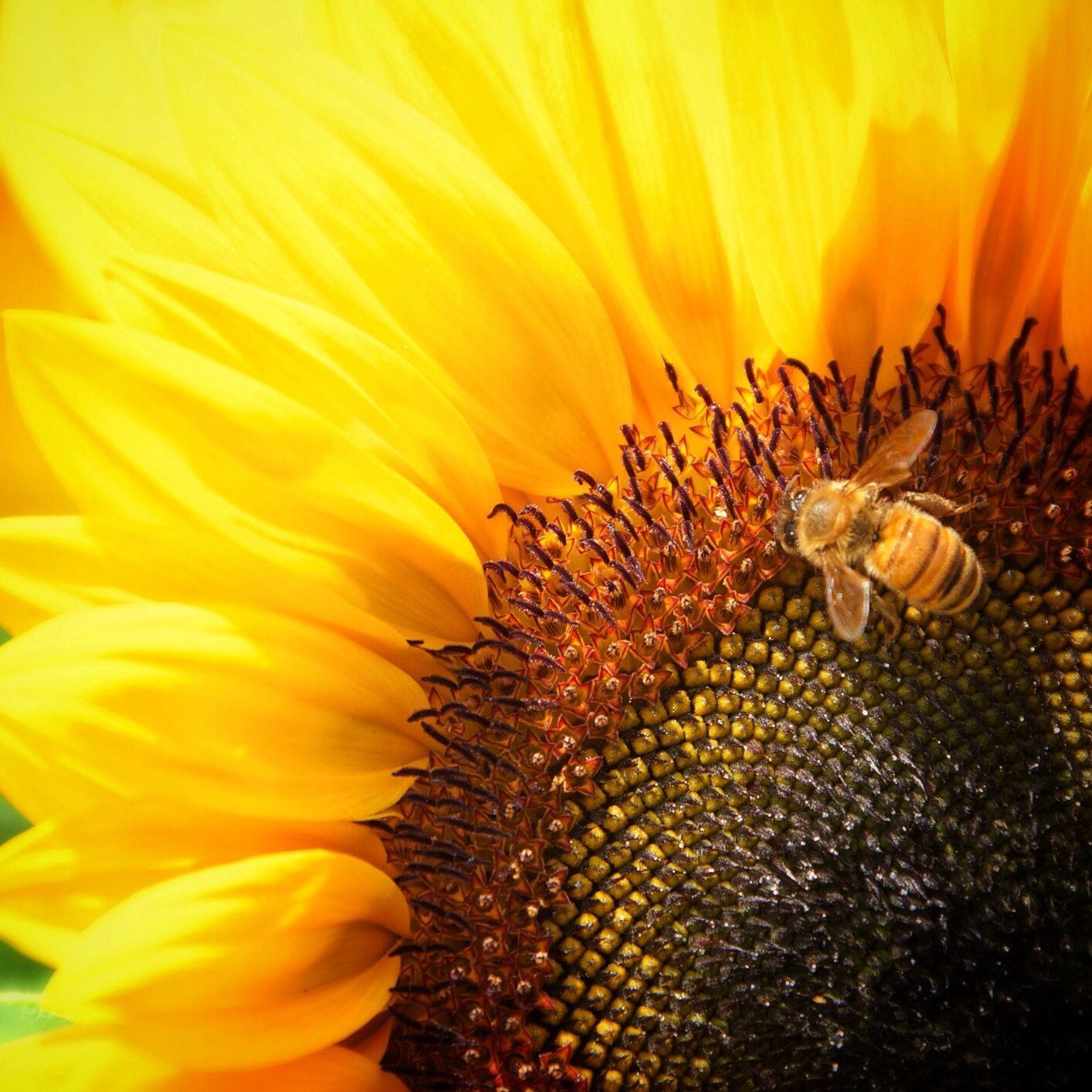 """Sunflower pollinator """"b"""" 