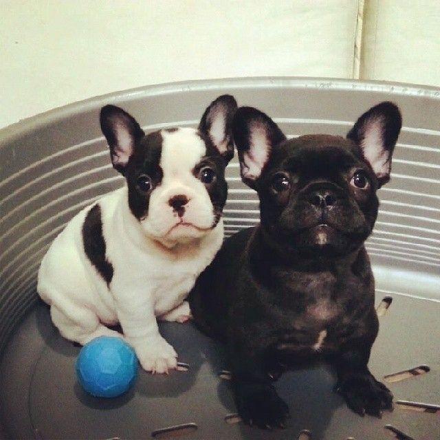 Best 25+ French bulldog puppies ideas on Pinterest ...