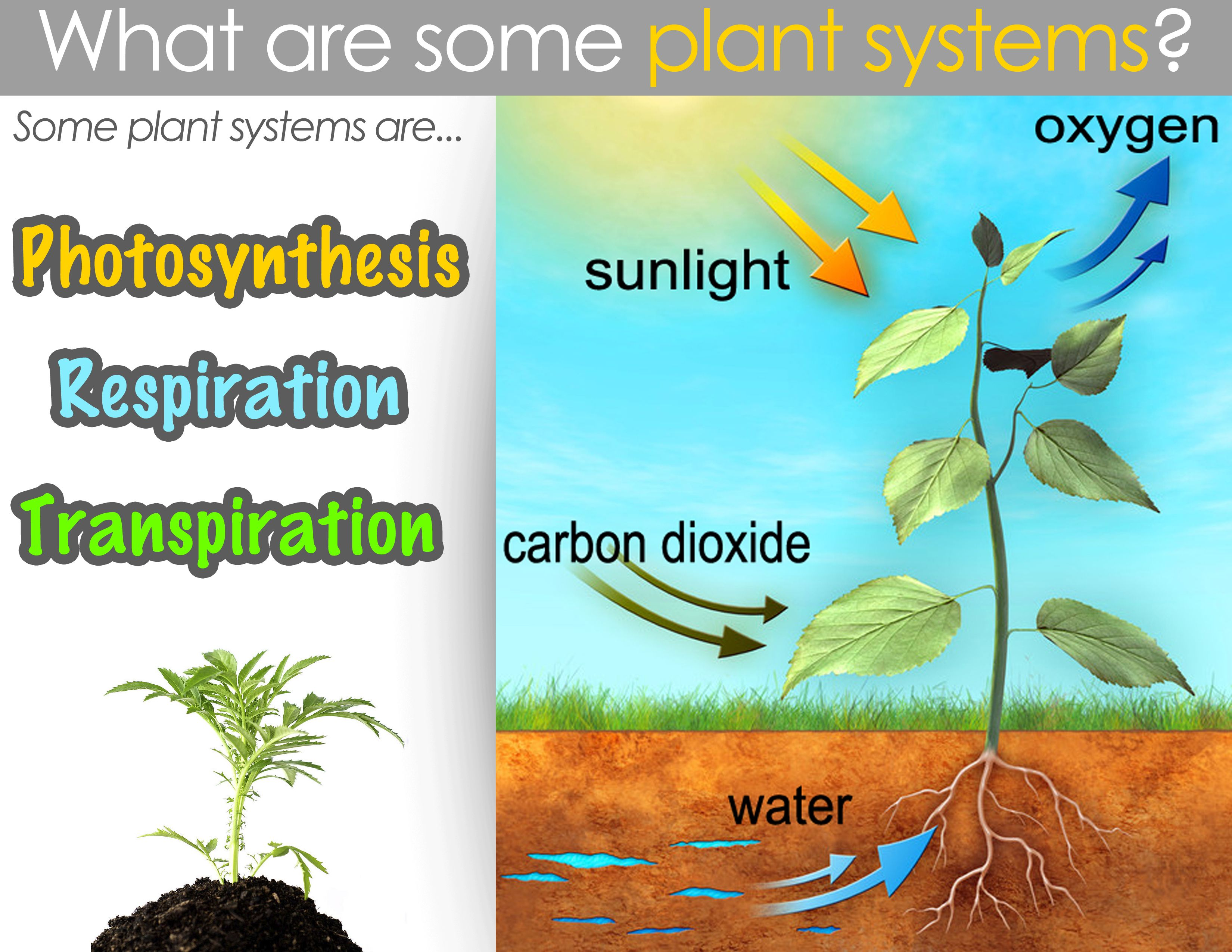 Classical Conversations Cycle 1 Week 12 Science Plant