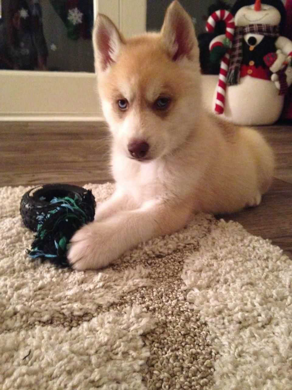Red And White Husky Puppy With Blue Eyes Puppies White Husky Puppy Husky Puppy