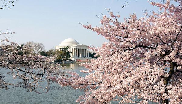 Washington Dc Cherry Blossom Time Dream Vacations Cherry Blossom Dc Cherry Blossom Pictures