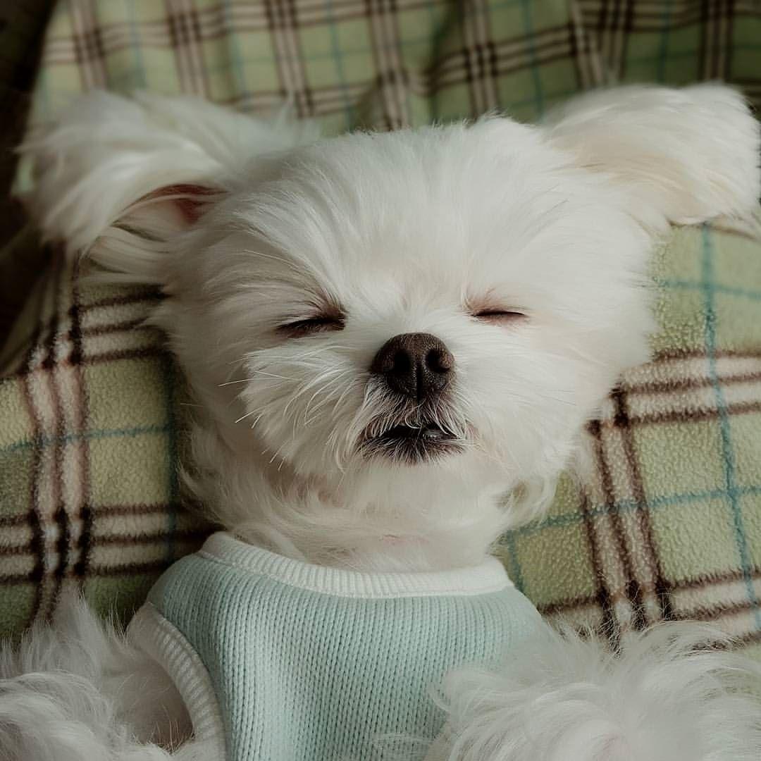 Untitled Maltese dogs, Dog love, Dog trainer