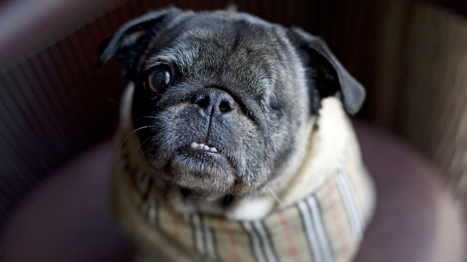 It S About Family And Purpose One Eyed Pug Finds Furever Home