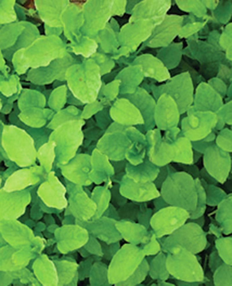 chickweed seed,Chickenwort seed,winterweed seed Craches seed-Bountiful Gardens