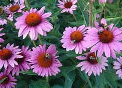 echinacea - helps fight the infection itself