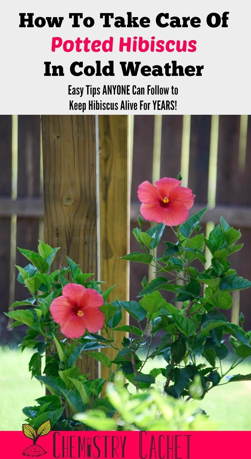 How To Take Care Of Potted Hibiscus In Cold Weather Garden Tips