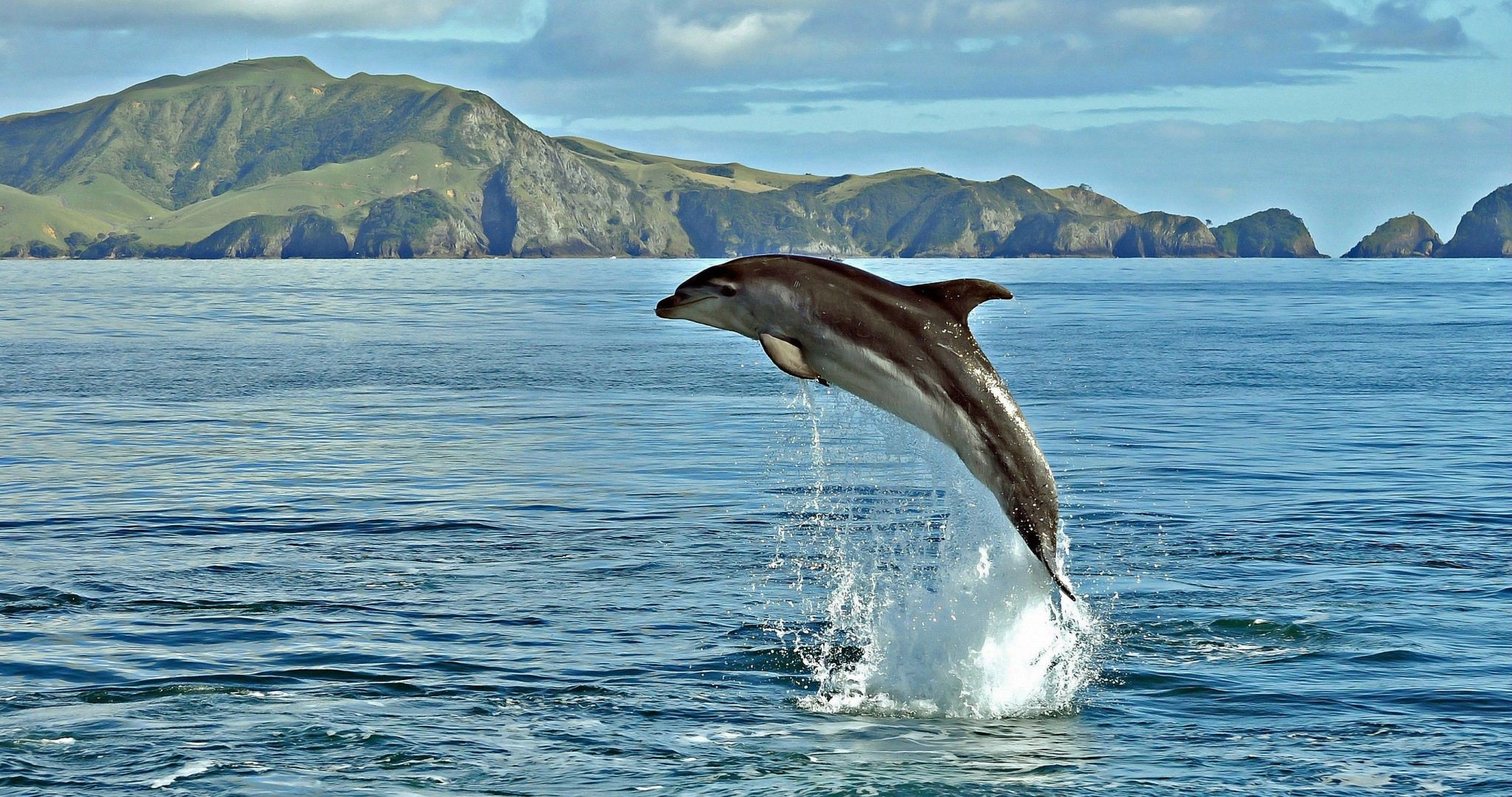 dolphin in sea 4k ultra hd wallpaper Dolphins, Animals