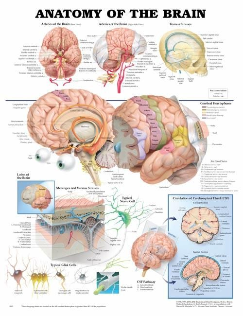 The Brain Anatomy Chart Shows The Cerebral Hemispheres Lobes Of The