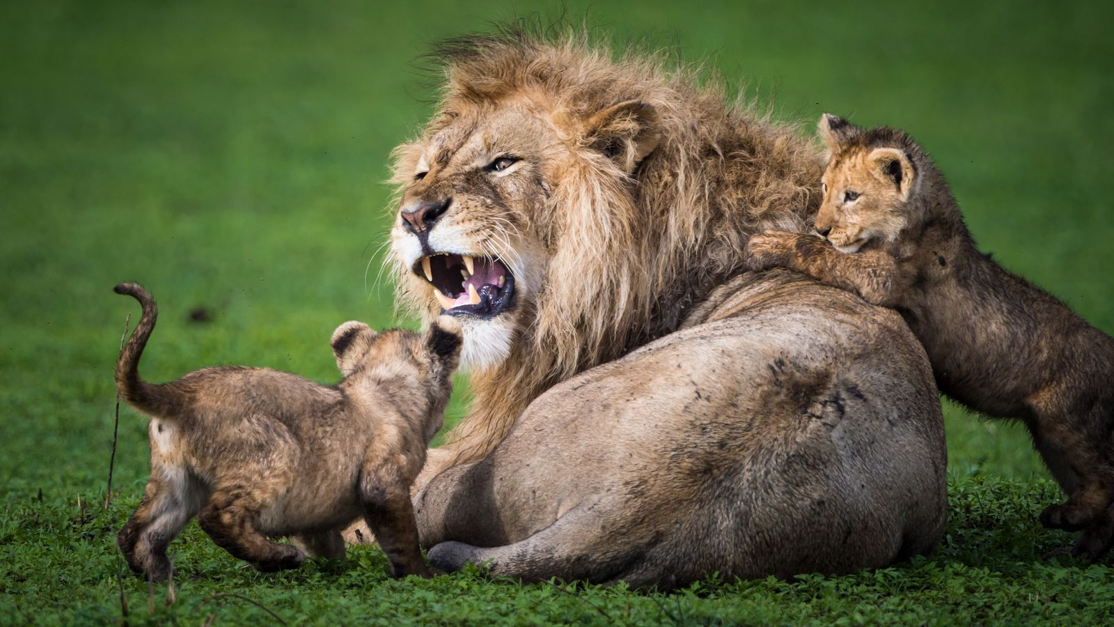 Photo of the Day Male lion, Lion images, Lion