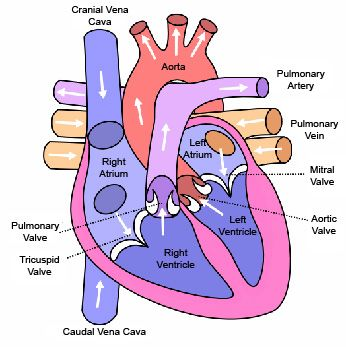 My dream was to become a cardiologist