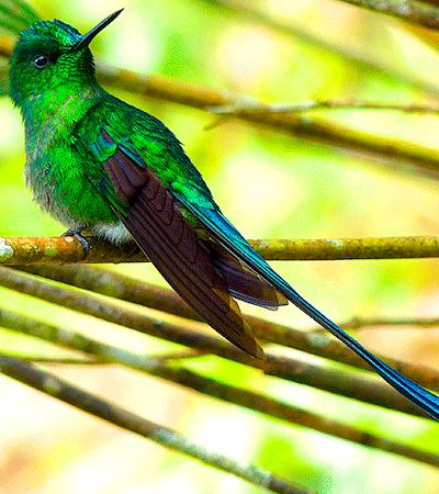 Aves de Cali- Silfo coliverde - Trochilidae-Apodiformes. Caza insectos