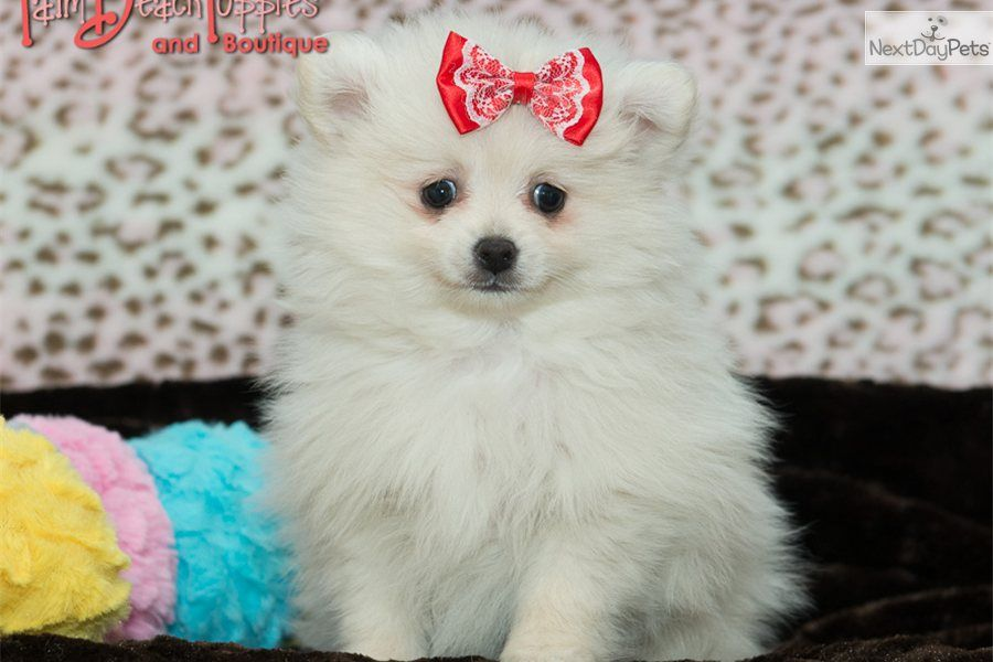 Handsome Cotton Ball Pomeranian Pomeranian Puppy For Sale Pomeranian Puppy Teacup Pomeranian Puppy